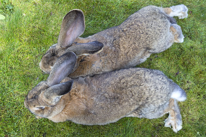 le plus gros lapin du monde 3