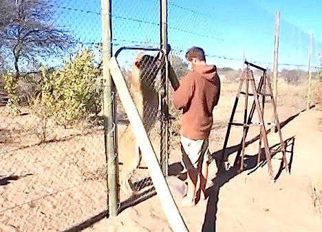 EMOUVANT: Ce qu'il fait avec ce lion est incroyable !