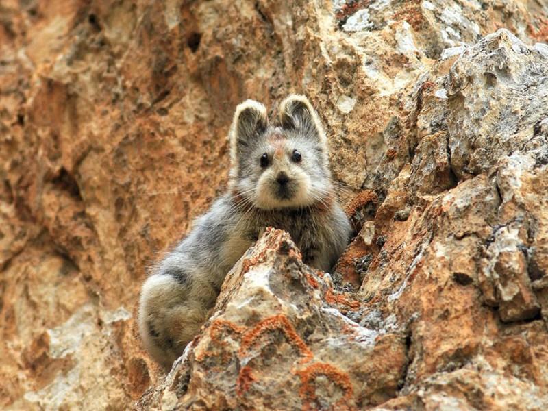 """Cet adorable petit animal, surnommé le """"lapin magique"""", risque malheureusement de disparaître de notre planète 1"""