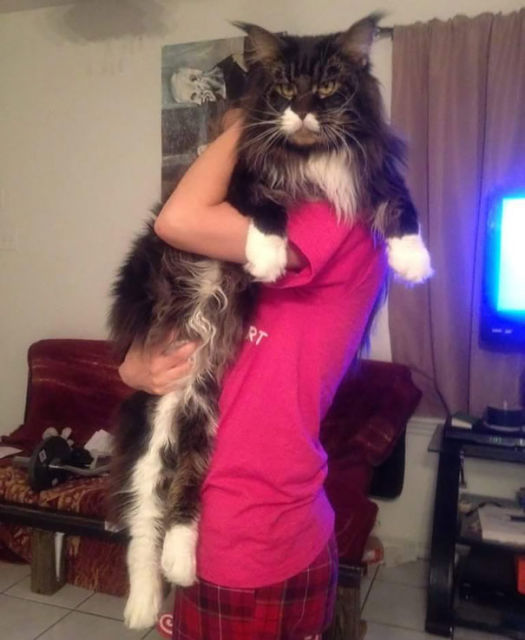 maine-coon-chats-1