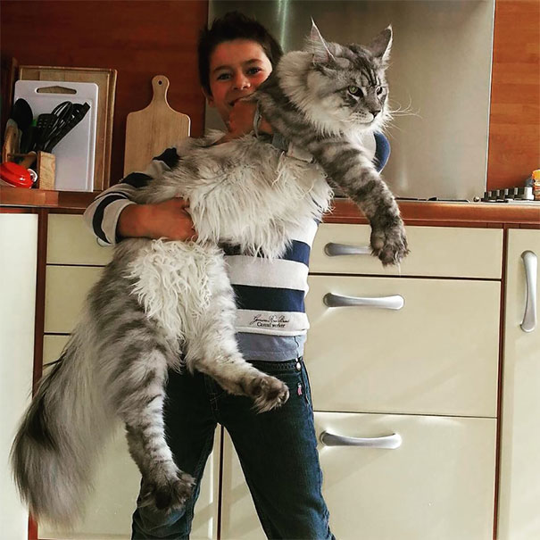 maine-coon-chats-11