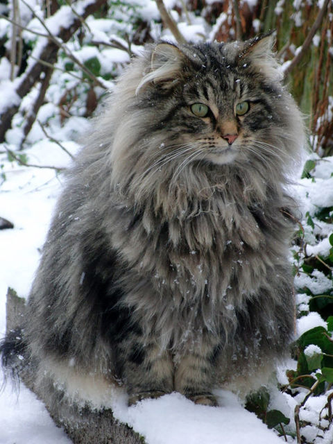 maine-coon-chats-13