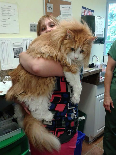 maine-coon-chats-15