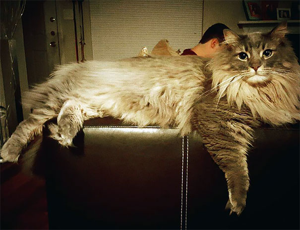 maine-coon-chats-3