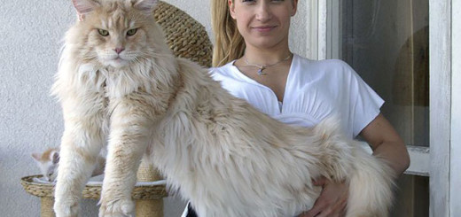 maine-coon-chats-6