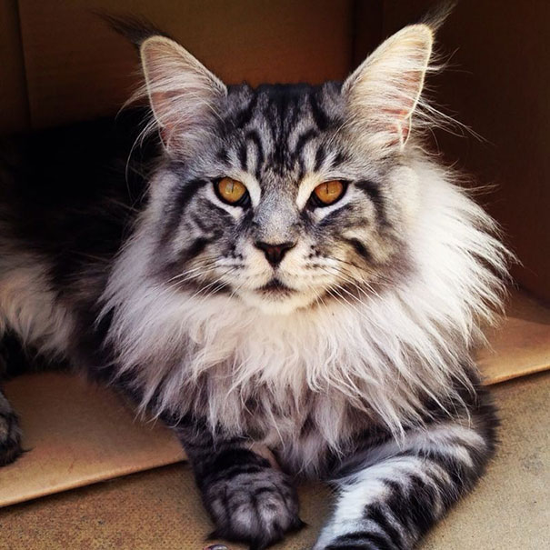 maine-coon-chats-7
