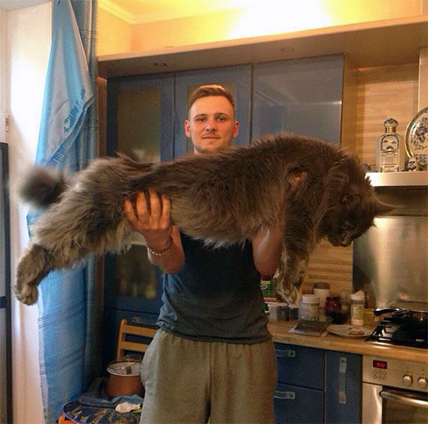 maine-coon-chats-9