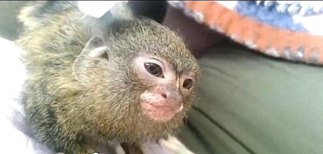 Un ouistiti pygmée qui se relaxe.