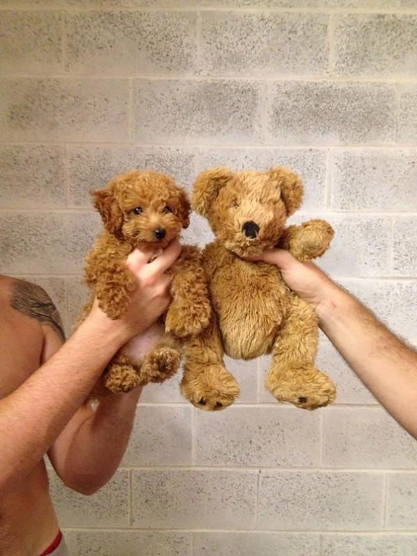 17 chiens qui ressemblent à des petits ours en peluche 5