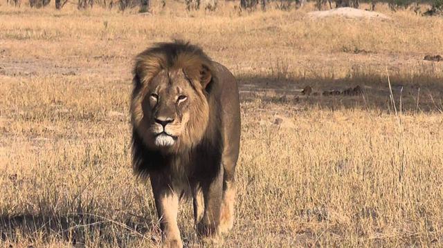 peluche-lion-cecil-3