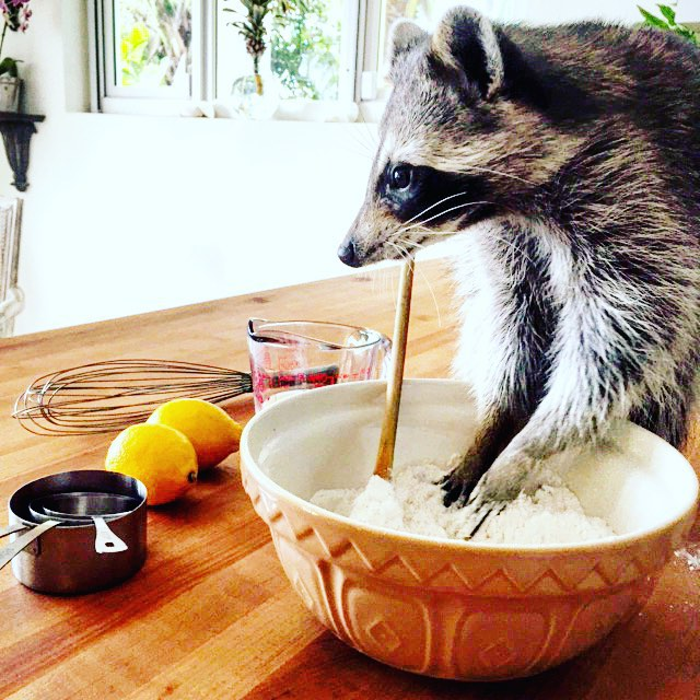 raton-laveur-chien-17