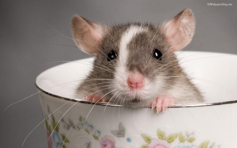 20 photos de rats qui prouvent qu'ils peuvent être aussi de magnifiques animaux de compagnie 5