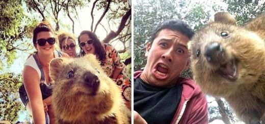 La nouvelle mode en Australie : le selfie avec un quokka ! 32