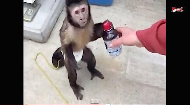 Un singe pas comme les autres !