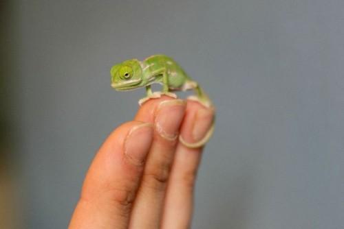 photo de bébé caméléon